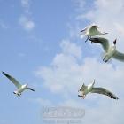 波斯湾的海鸥