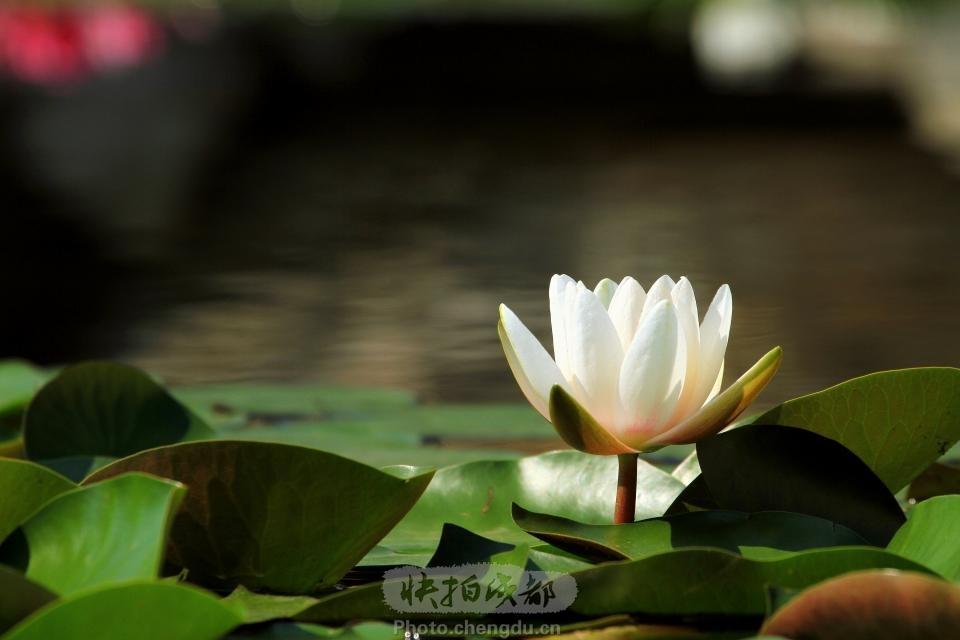 青白江凤凰湖 by 拍客zcbdlb1212 快拍作品_成