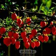 柿——金弹子...