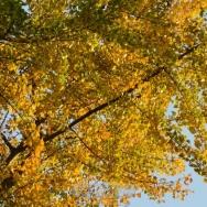 深秋银杏黄