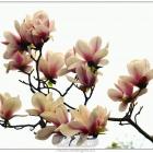 盛开的玉兰花