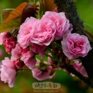 樱花(8)