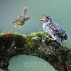《 鸠占鹊巢》真实版
