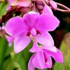 紫花苞舌兰