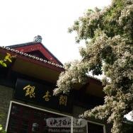 红豆树开花了...