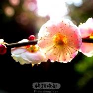 梅花迎春(3...