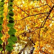 金叶中的绿色...