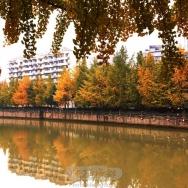 金秋市树黄