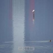 湖面白鹭野鸭...