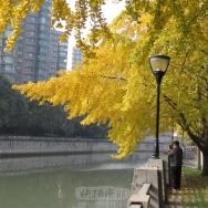 美丽的银杏树...