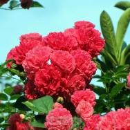 盛开的蔷薇花...