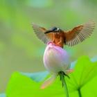 翠鸟上荷苞