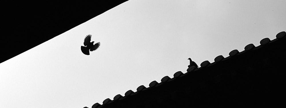 应天寺飞鸽