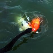 黑天鹅钓鱼