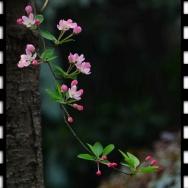 中国名花---垂...