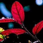 红叶与水珠